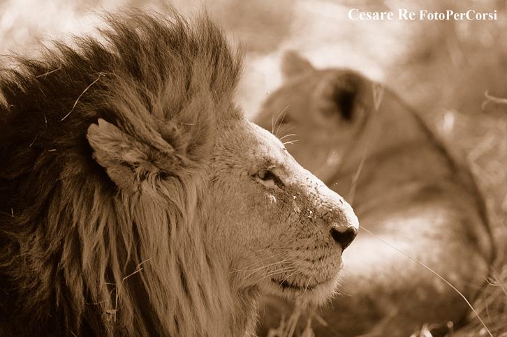 Leone; Nikon F90 X; Nikkor 300 f4 af