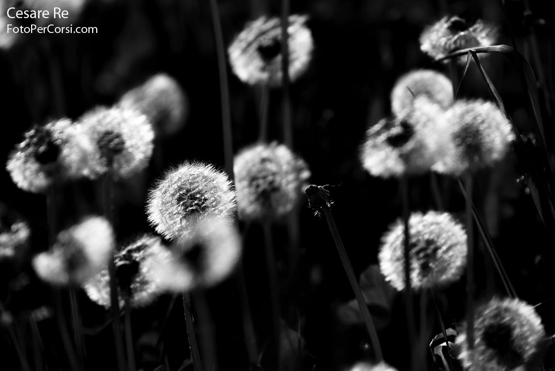 """""""I soffioni"""" risultano compressi dall'utilizzo dello zoom regolato a 185mm. La distanza tra i fiori è minore di quanto non sia in realtà, a causa della compressione dell'ottica tele. Nikon D800, Nikkor 80-400 VR 4,5 / 5,6."""
