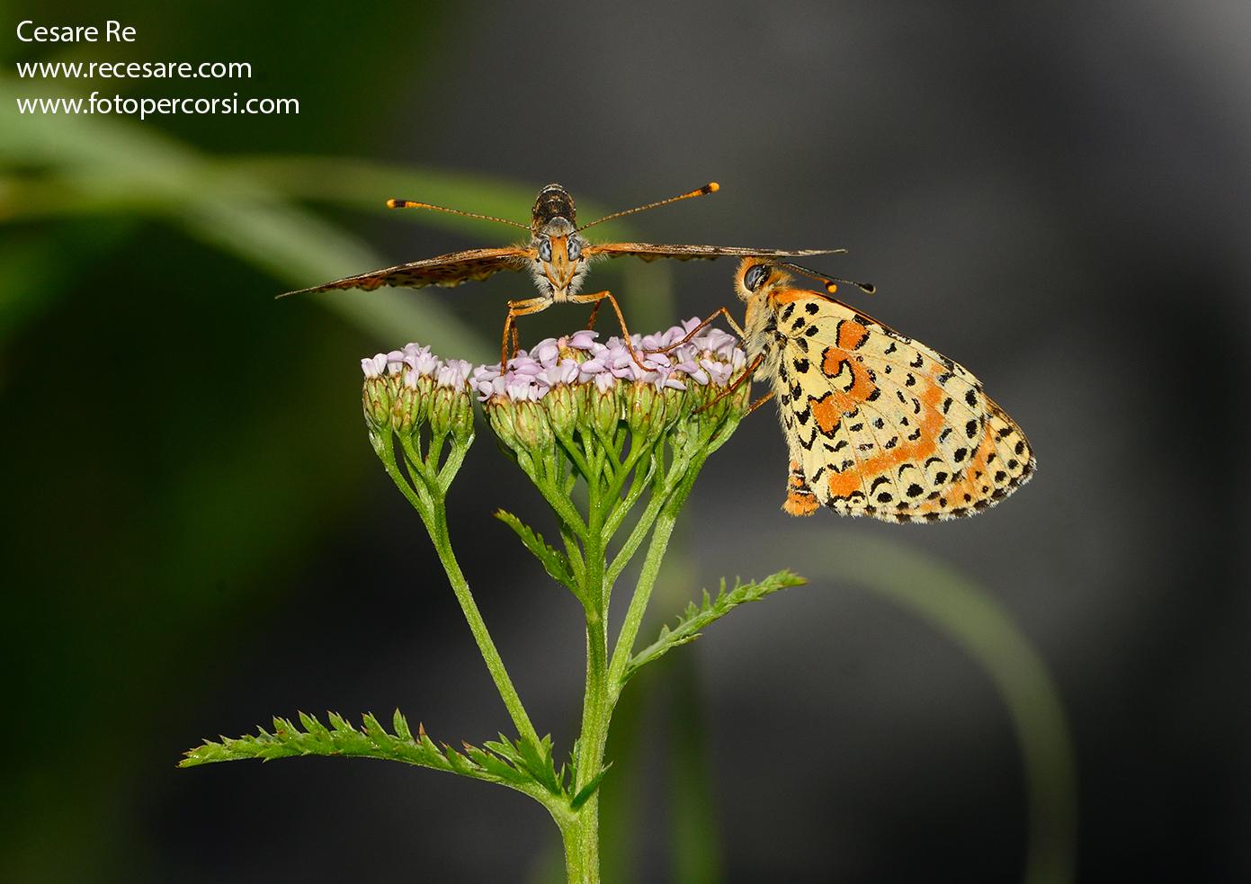farfalle su fiore