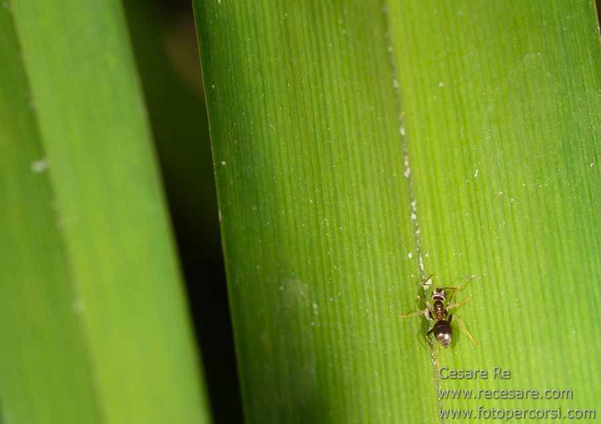 Formica che cammina su una foglia
